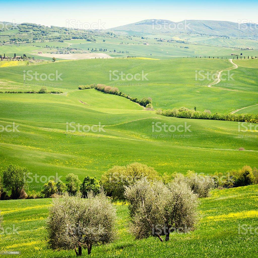 Tuscany wheat landscape with canola flower stock photo