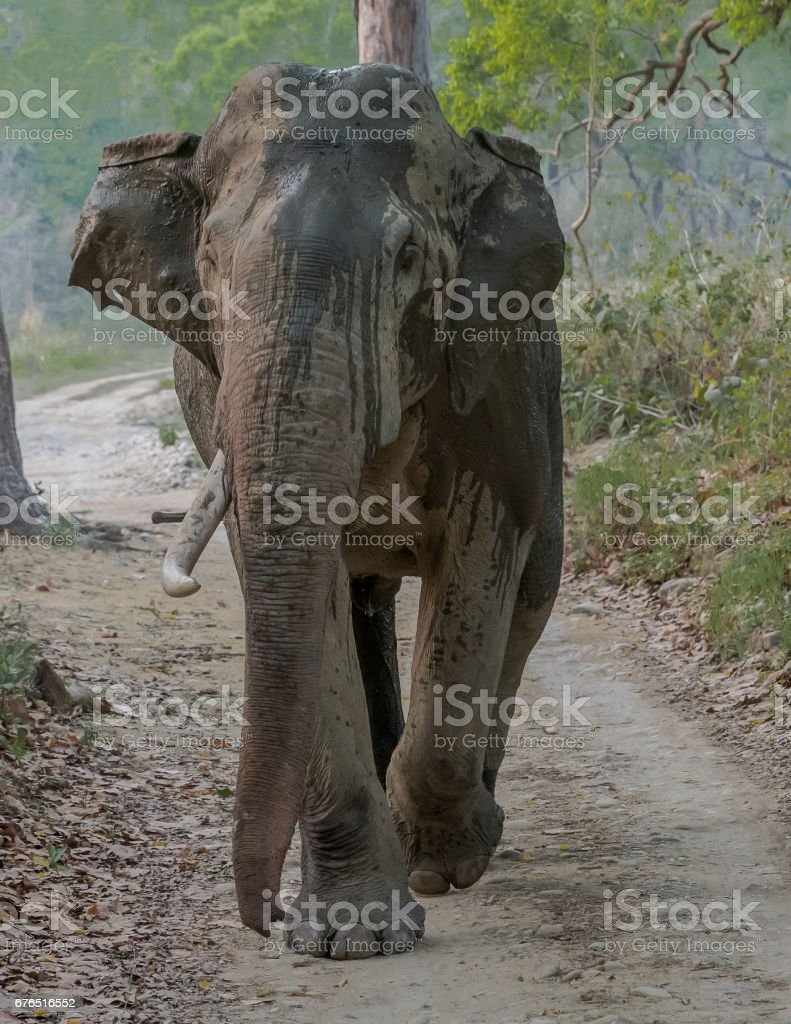 Tusker on the road - making a mock charge stock photo