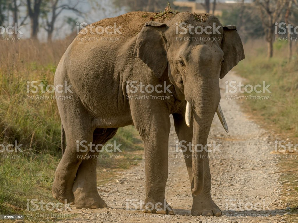 Tusker on the road stock photo
