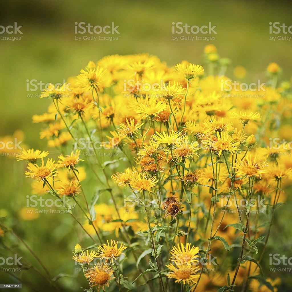 Tussilago farfara (coltsfoot) herb royalty-free stock photo