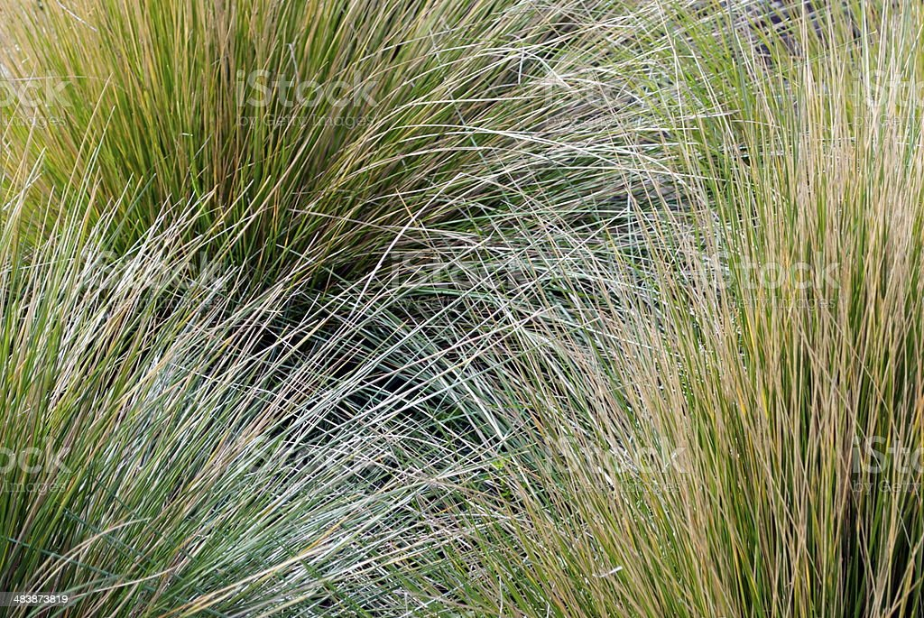 Tussock Grass Background stock photo