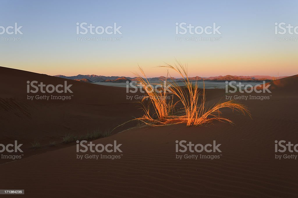 Tussock in the last sunlight stock photo