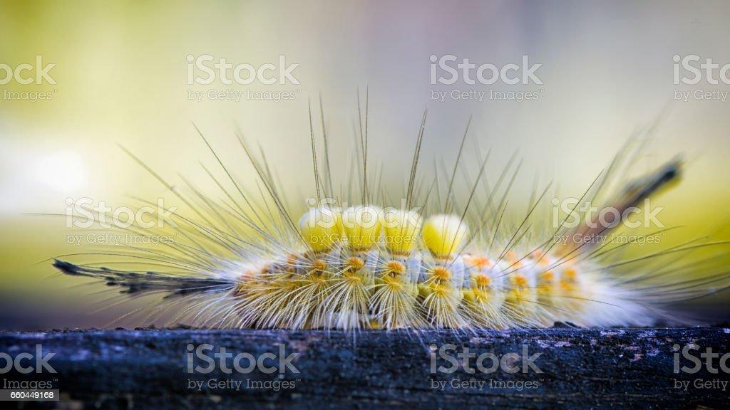 Tussock Moth Caterpillar stock photo