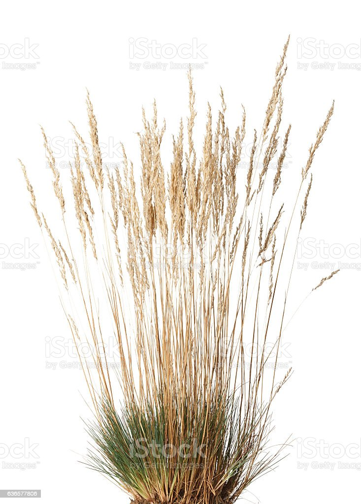 Tussock of dry grass with panicle stock photo