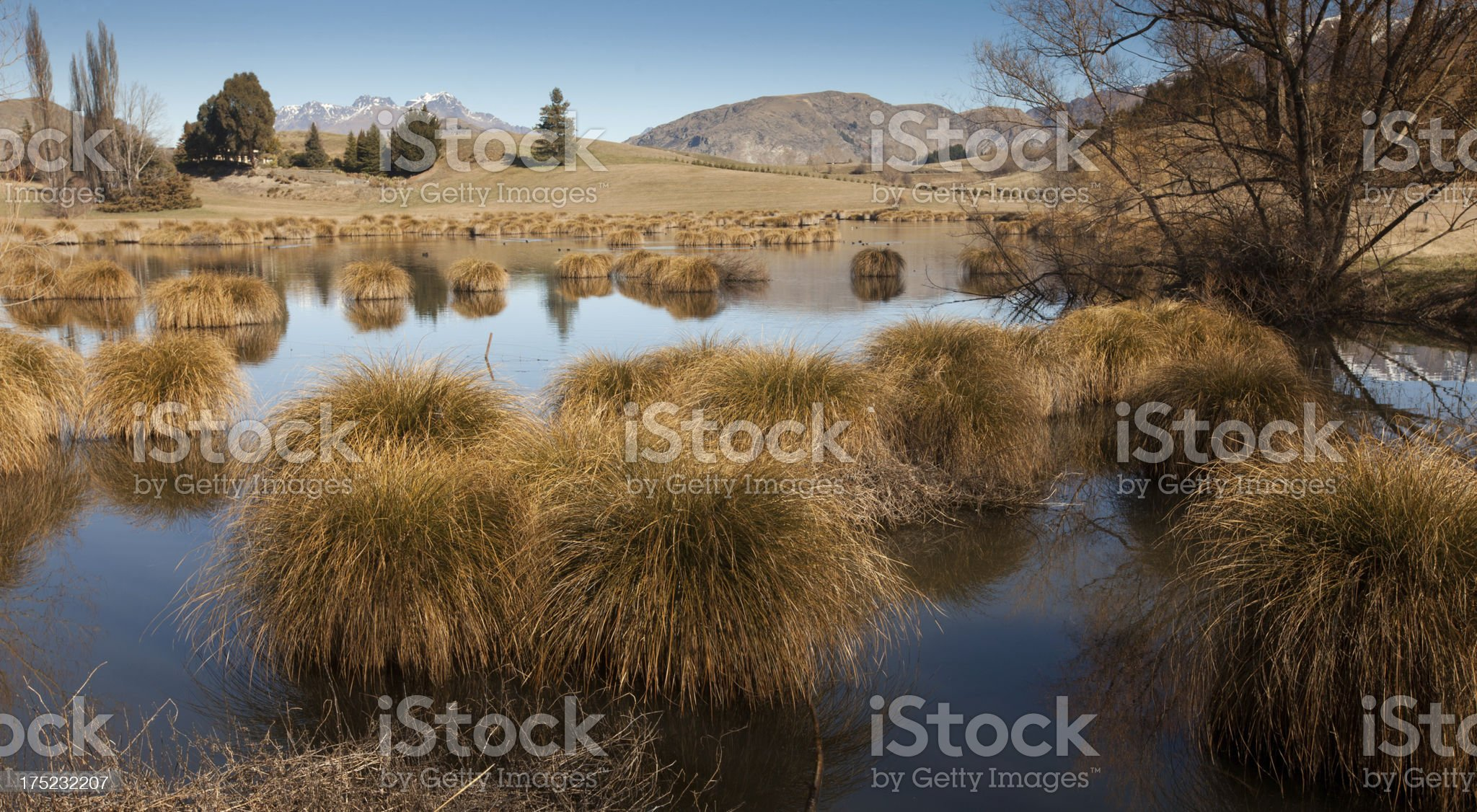 tussocks reflecting in pond, Queenstown, New Zealand royalty-free stock photo