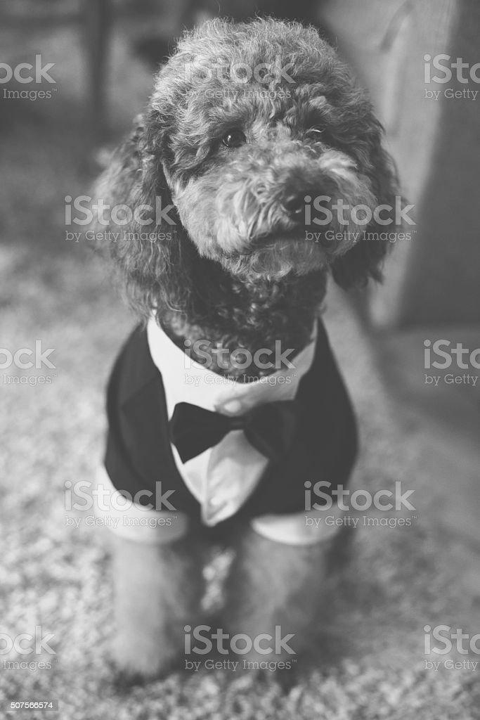 Tuxedo Dog stock photo