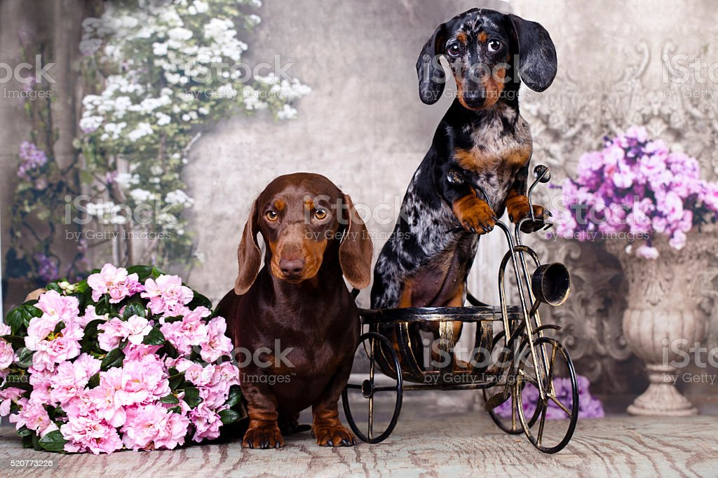 tvo dachshund stock photo