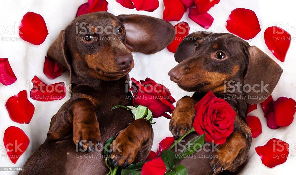 tvo dogs dachshund stock photo