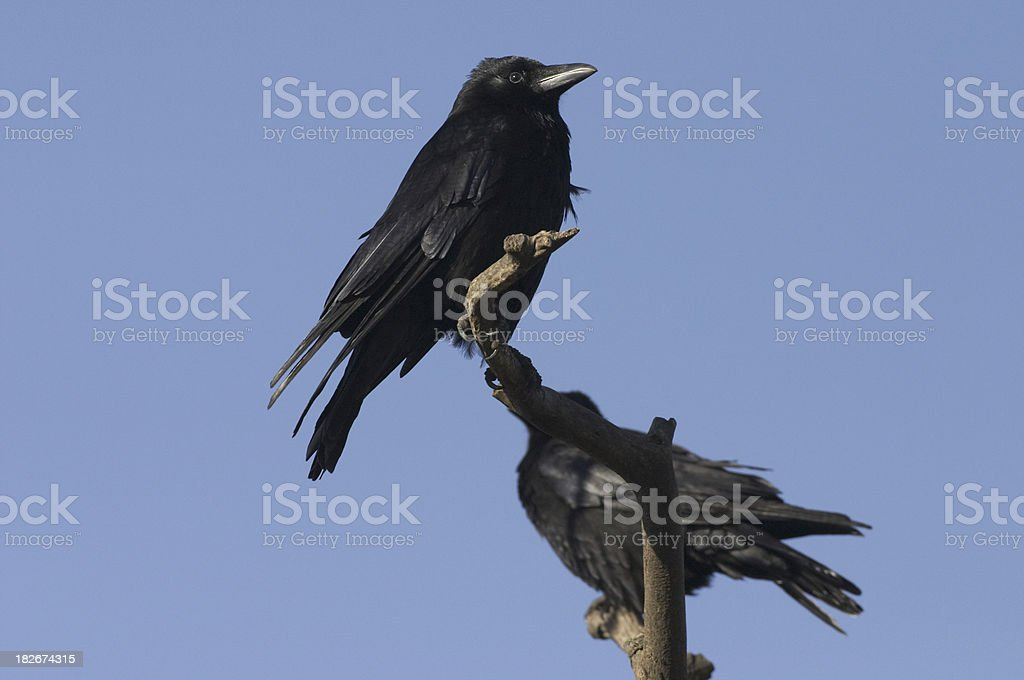 Twa corbies two black carrion crows Corvus corone stock photo