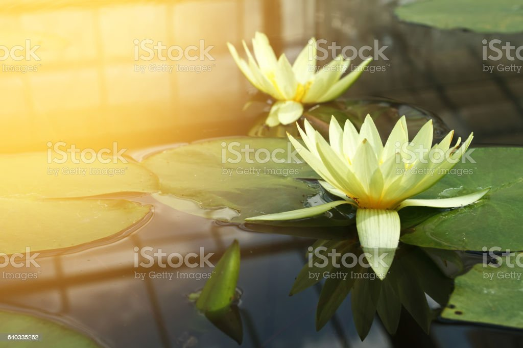 Twain yellow lotus in lotus pond stock photo