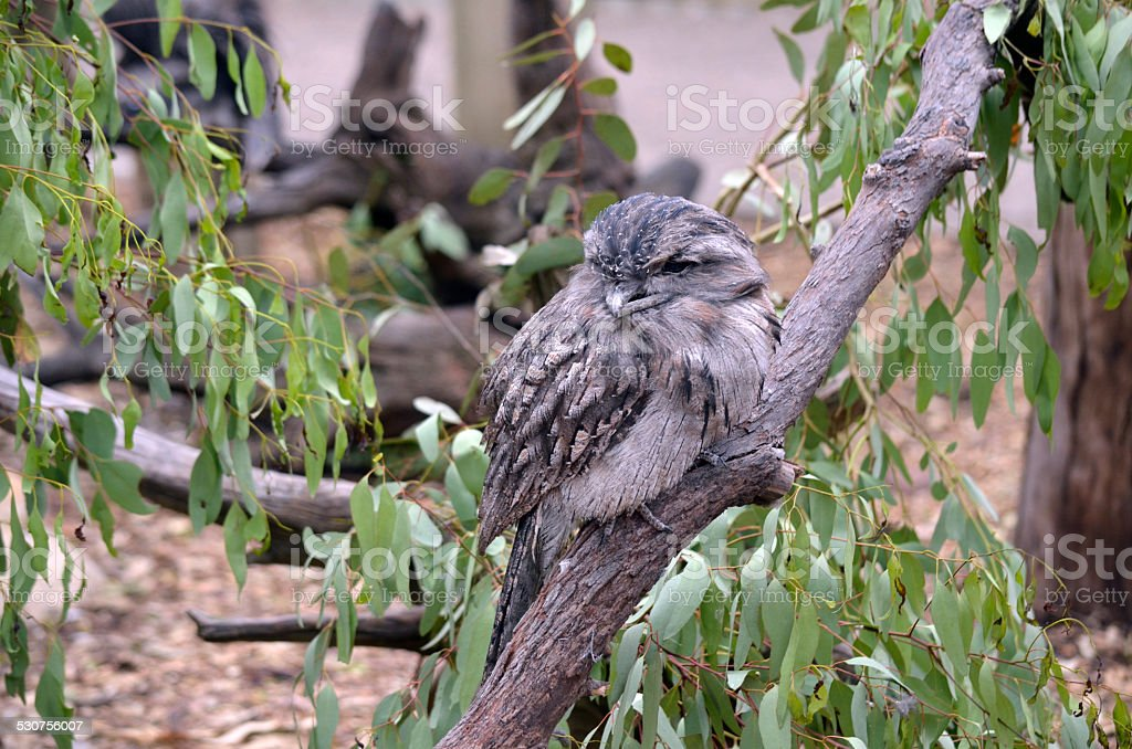 twany frogmouth stock photo