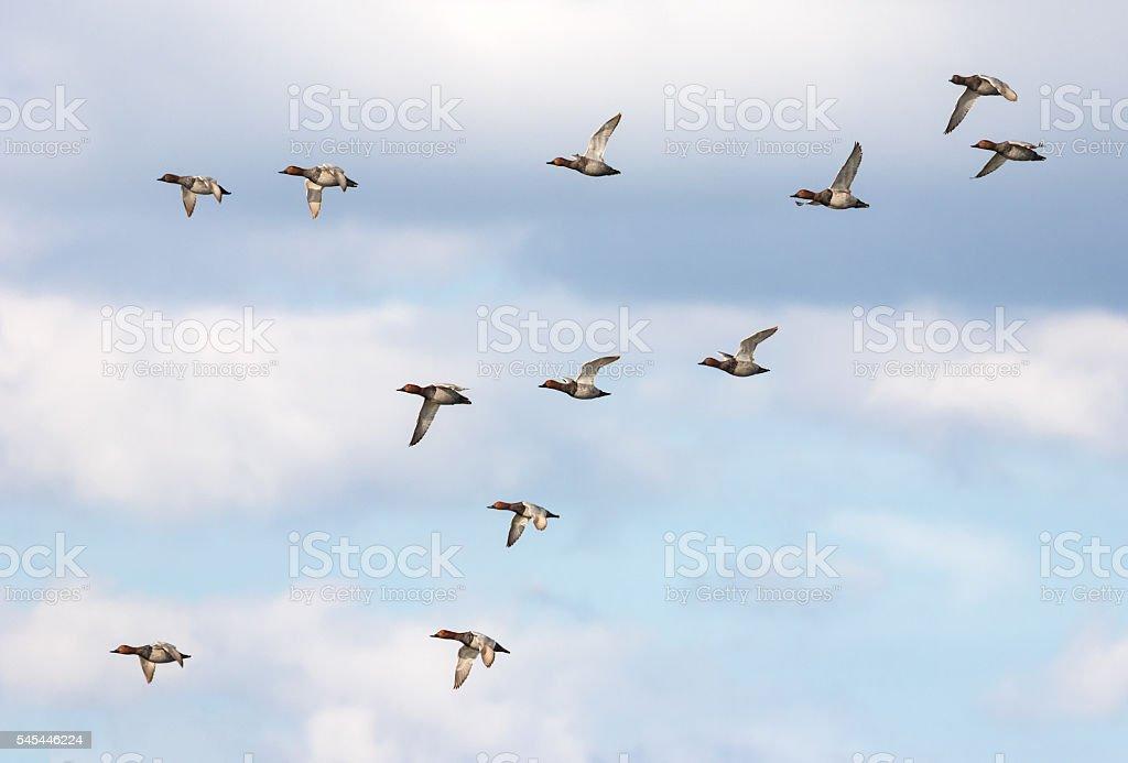 Twelve male common pochards (Aythya ferina) flying stock photo