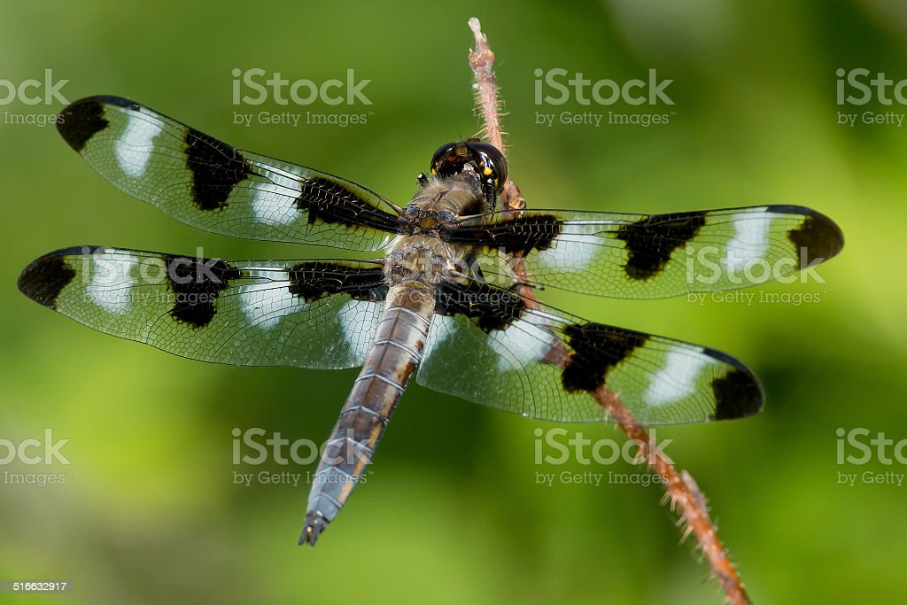 Twelve-spotted Skimmer Dragonfly stock photo