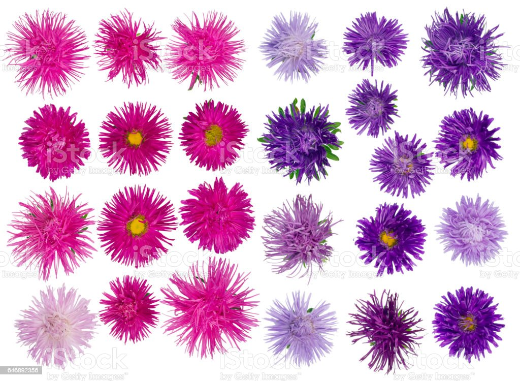 Twenty five  of autumn terry pink and blue violet asters flowers  set. Isolated collage stock photo