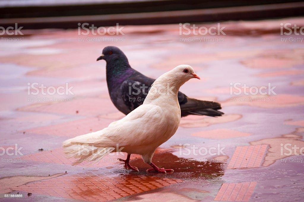 twice dove ,black dove with a white dove stock photo