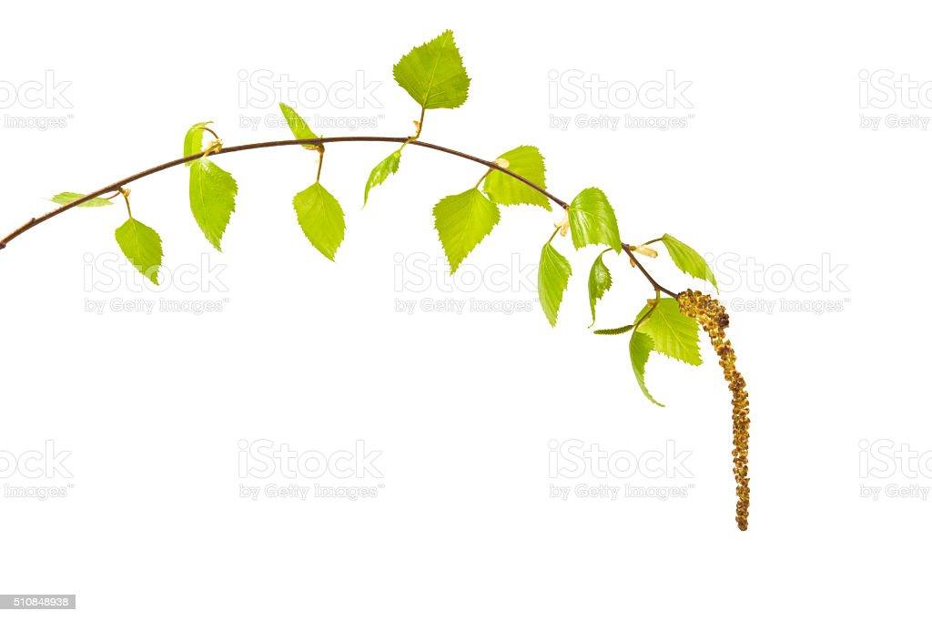 twig birch stock photo