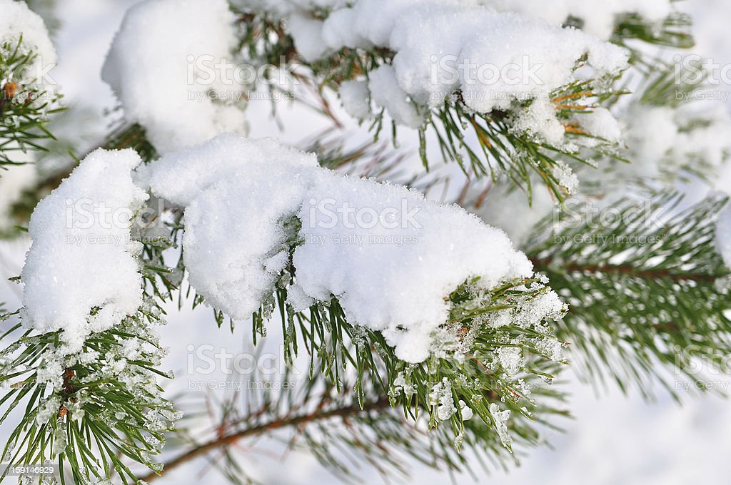 Twig covered with snow. royalty-free stock photo