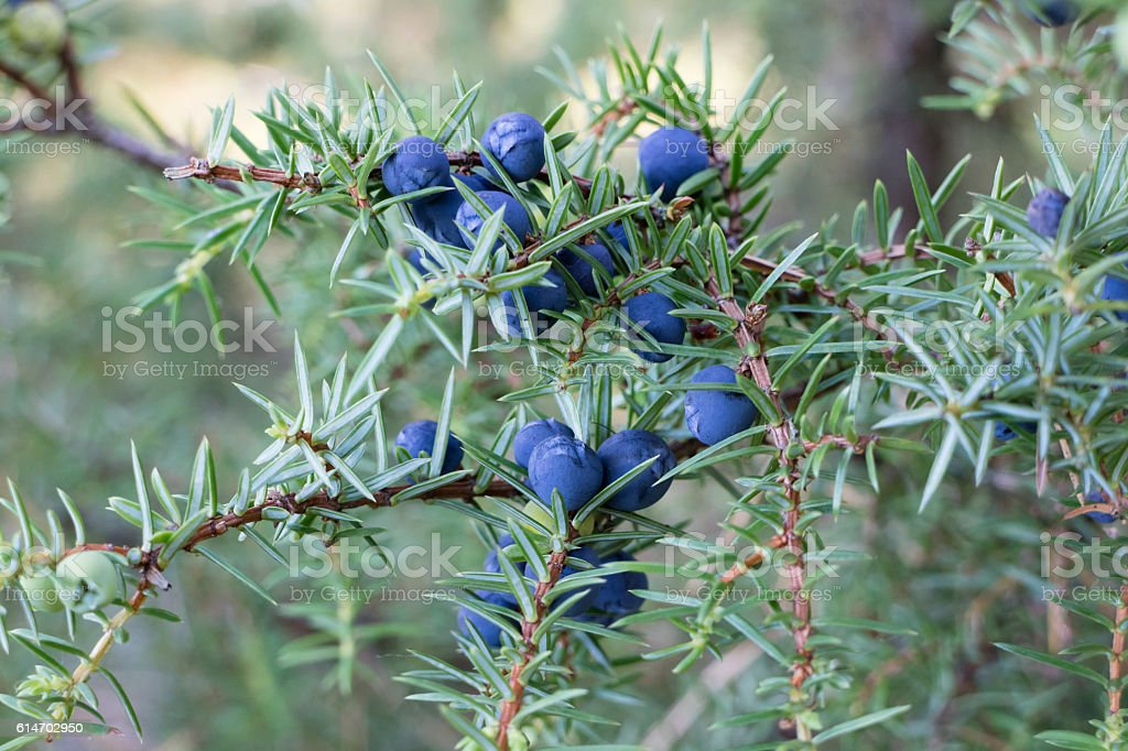 Twig of common juniper with berries stock photo