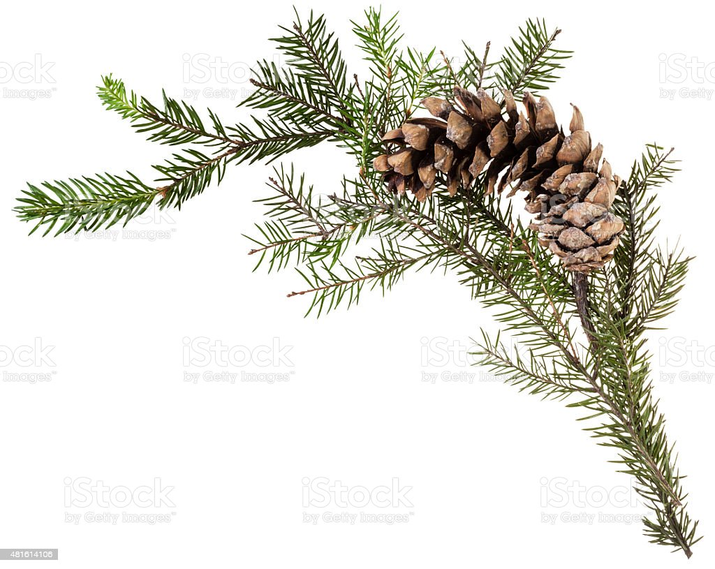 twig of fir tree with cone on white stock photo