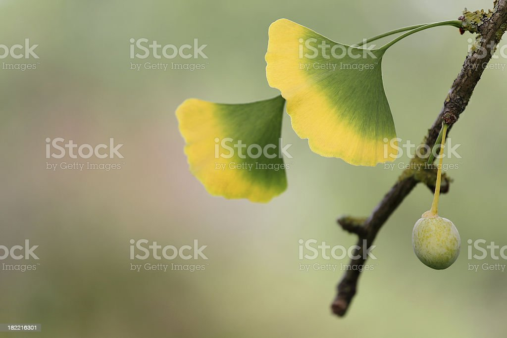 Twig of Ginkgo Biloba tree with leaves and fruit royalty-free stock photo