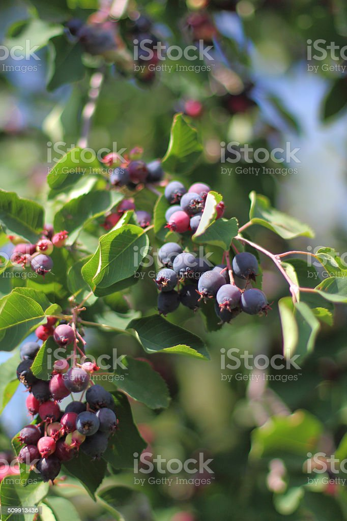 twig of irga with ripe berries stock photo