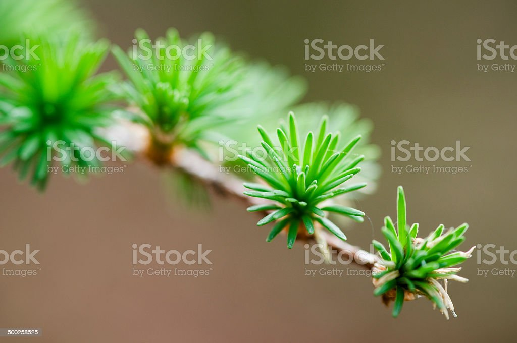 twig of larch stock photo