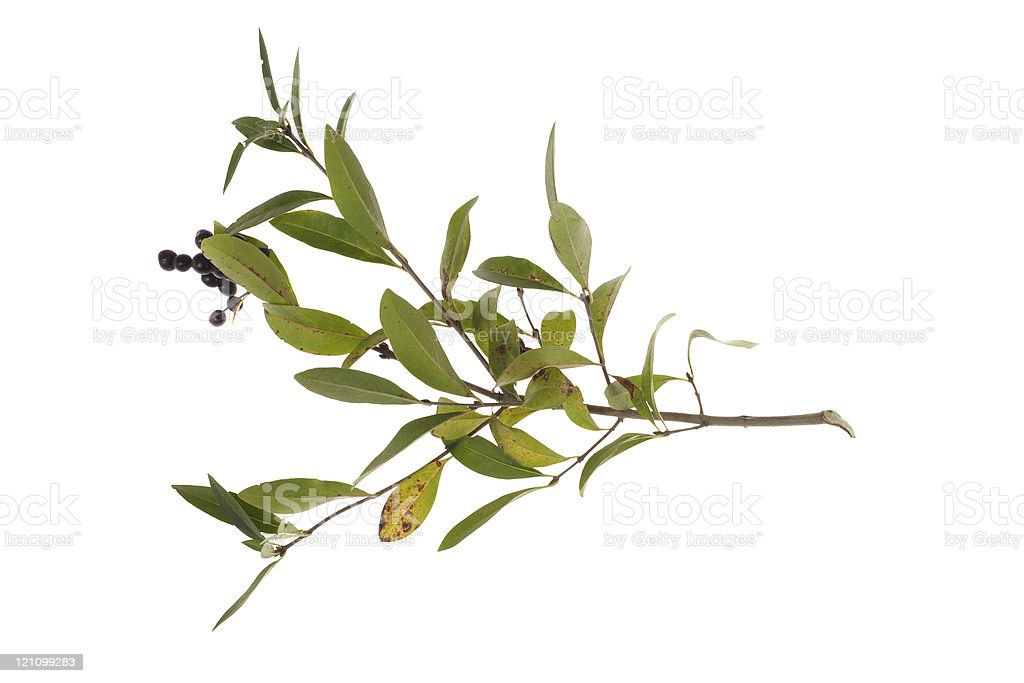 twig of leaves royalty-free stock photo