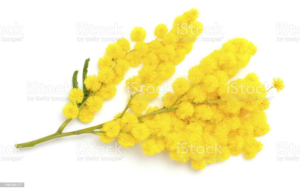 twig of mimosa flower stock photo