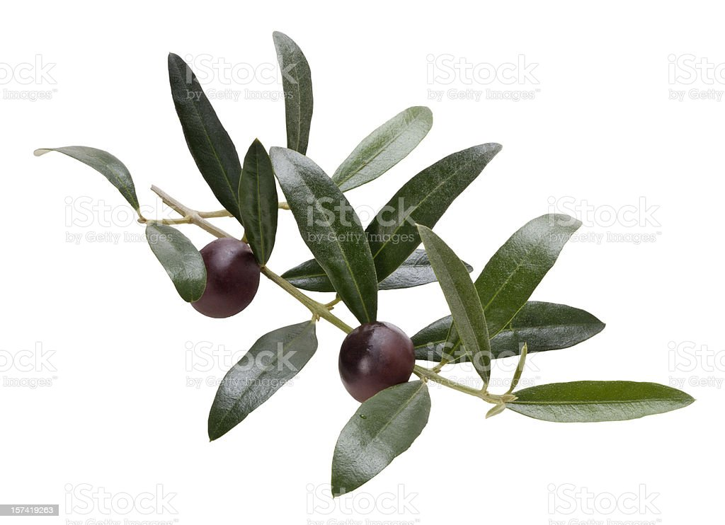 Twig of olive tree [clipping path] royalty-free stock photo