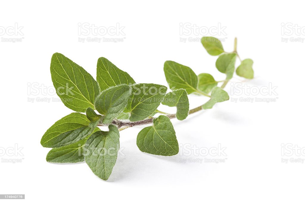 Twig of organic Greek oregano stock photo