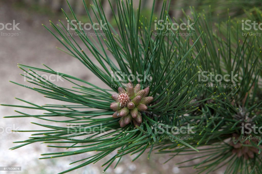 Twig of pine stock photo