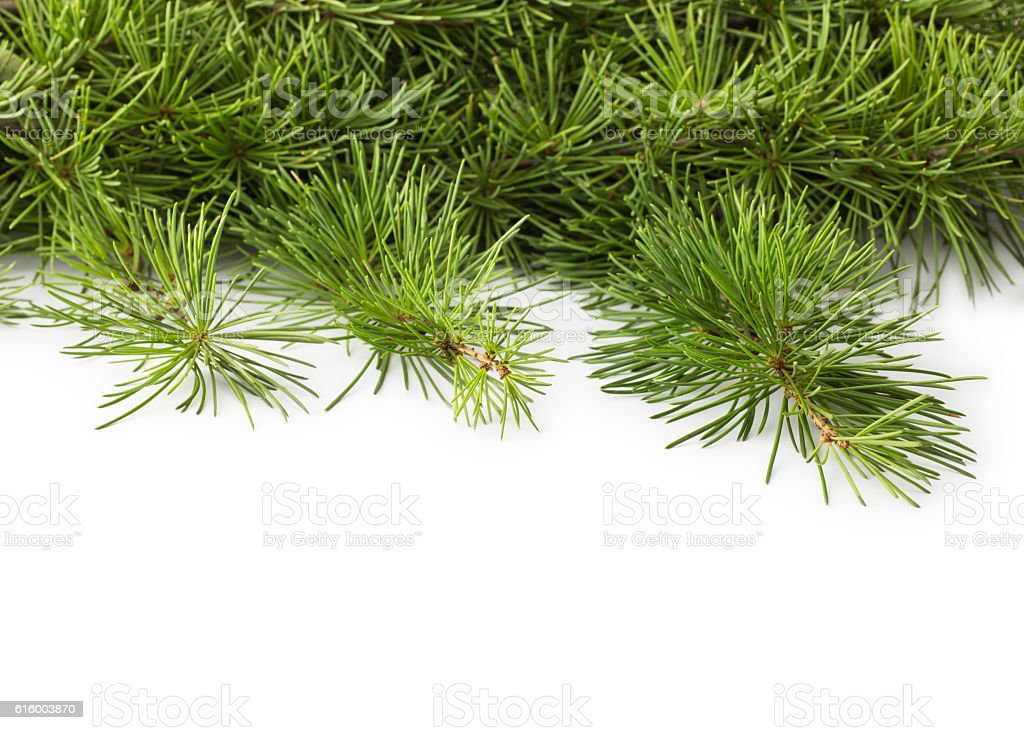 Twig of pine tree , isolated stock photo