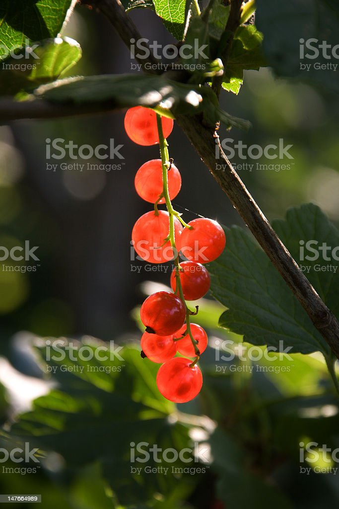 Twig of red currant royalty-free stock photo
