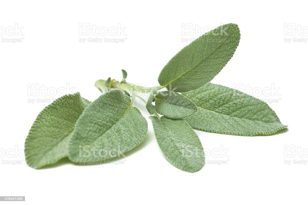 Twig of sage stock photo