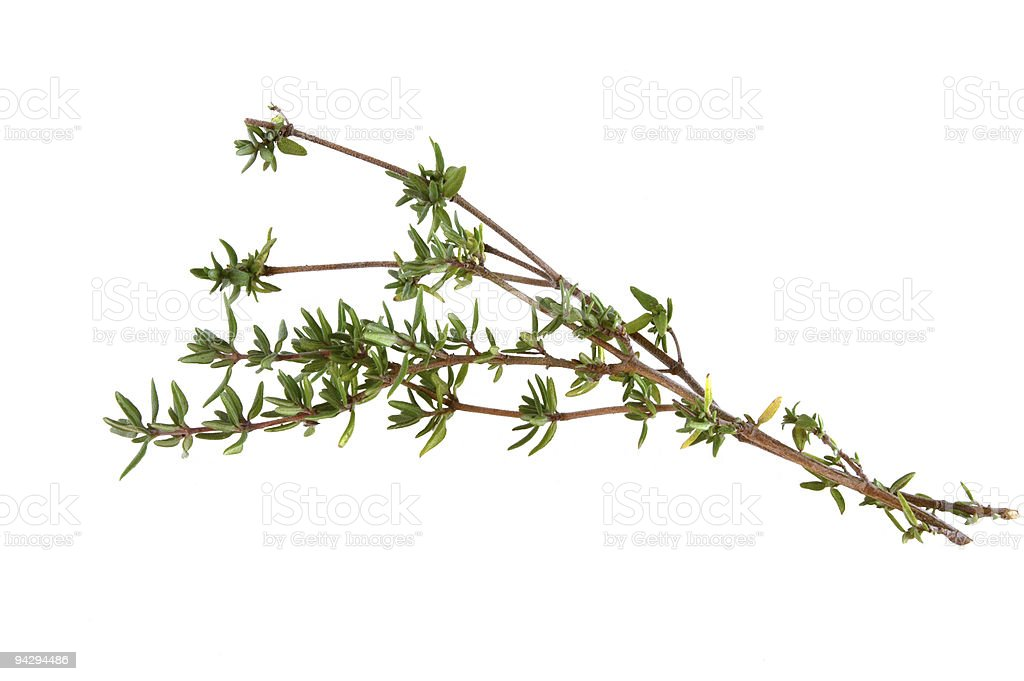 A twig of thyme on a white background royalty-free stock photo