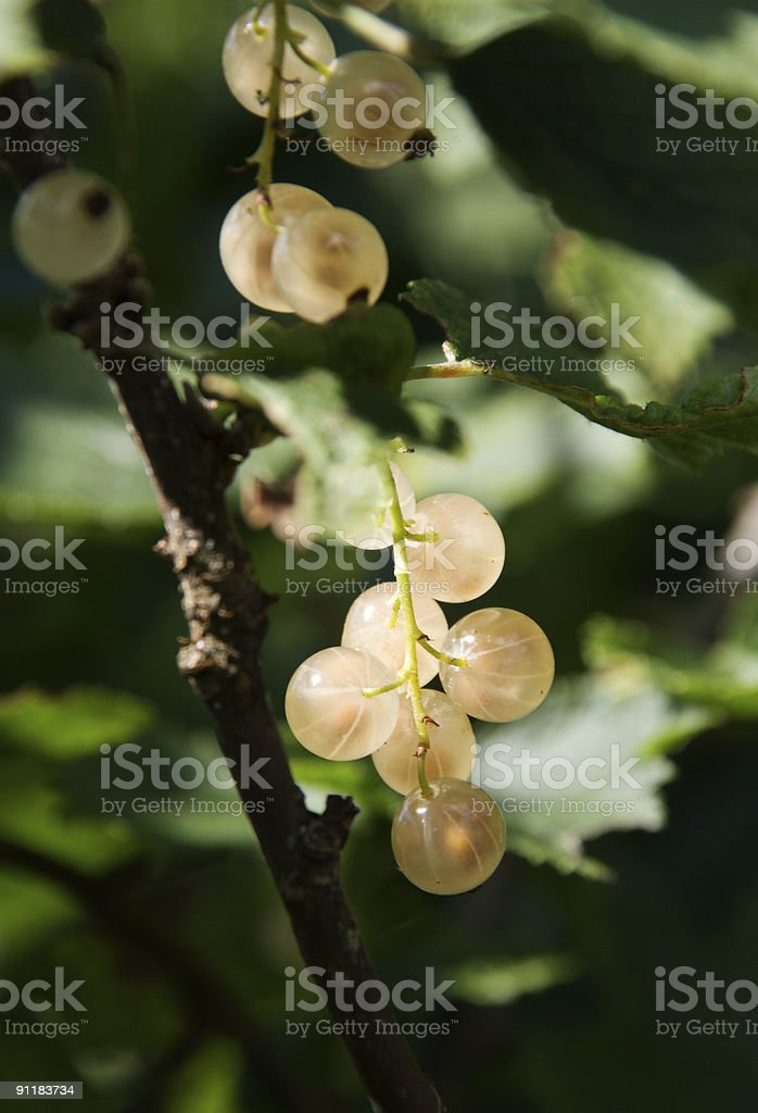 Twig of white currant in a bush royalty-free stock photo