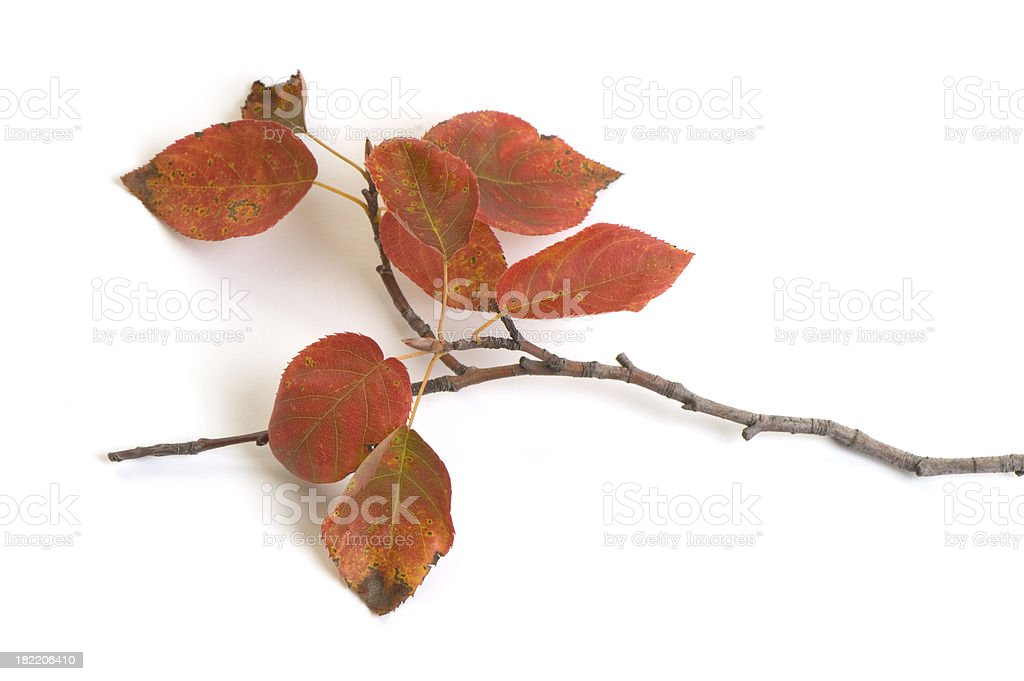 Twig with fall color leaves on white background royalty-free stock photo