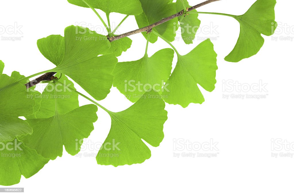 Twig with Ginkgo biloba leaves isolated on white royalty-free stock photo