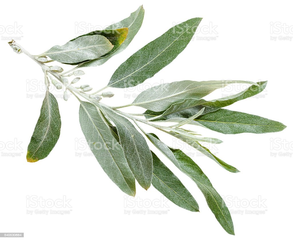 twig with silver leaves of Elaeagnus angustifolia stock photo