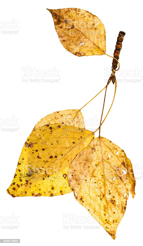 twig with yellow autumn leaves of poplar tree stock photo