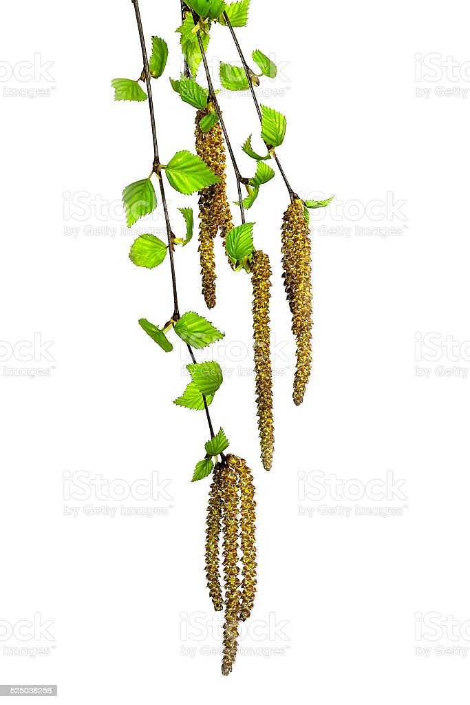 Twigs of a birch tree with green leaves and catkins. stock photo