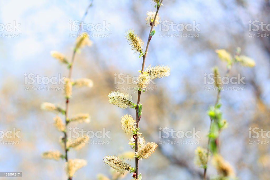 twigs with pussy willows. royalty-free stock photo