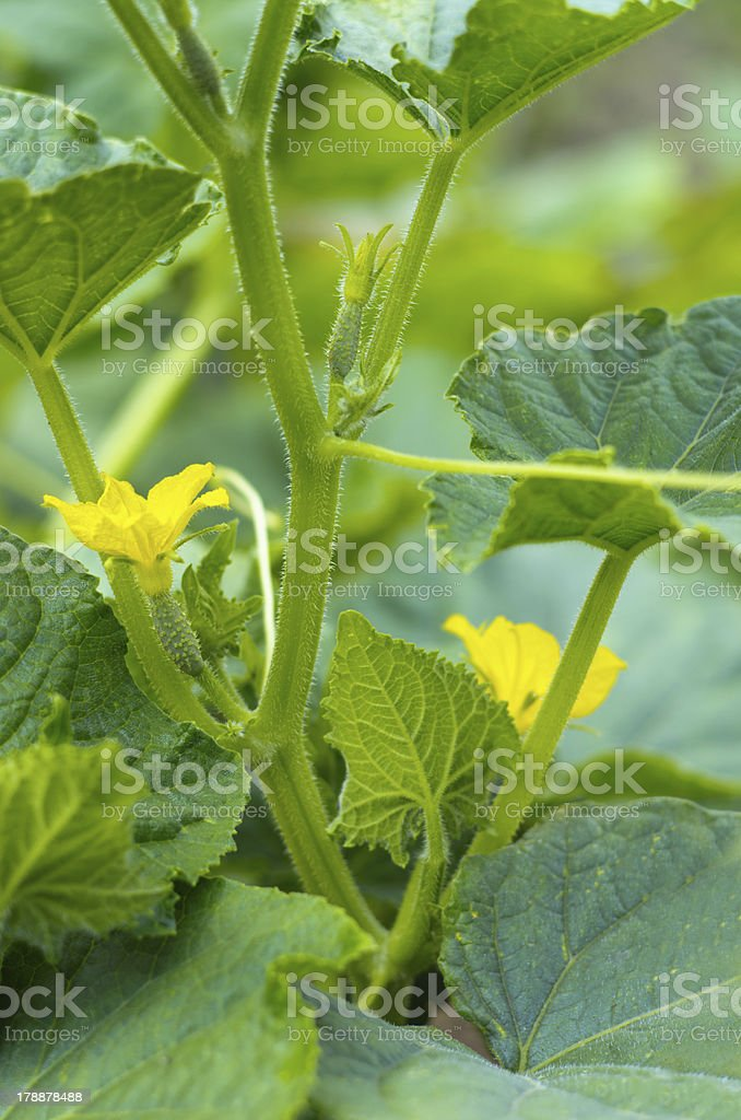 twigs with young cucumbers royalty-free stock photo