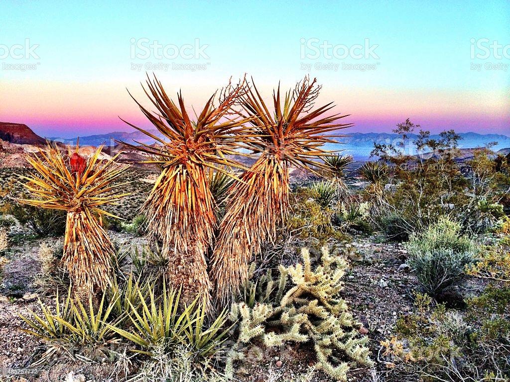 Twilight yucca stock photo