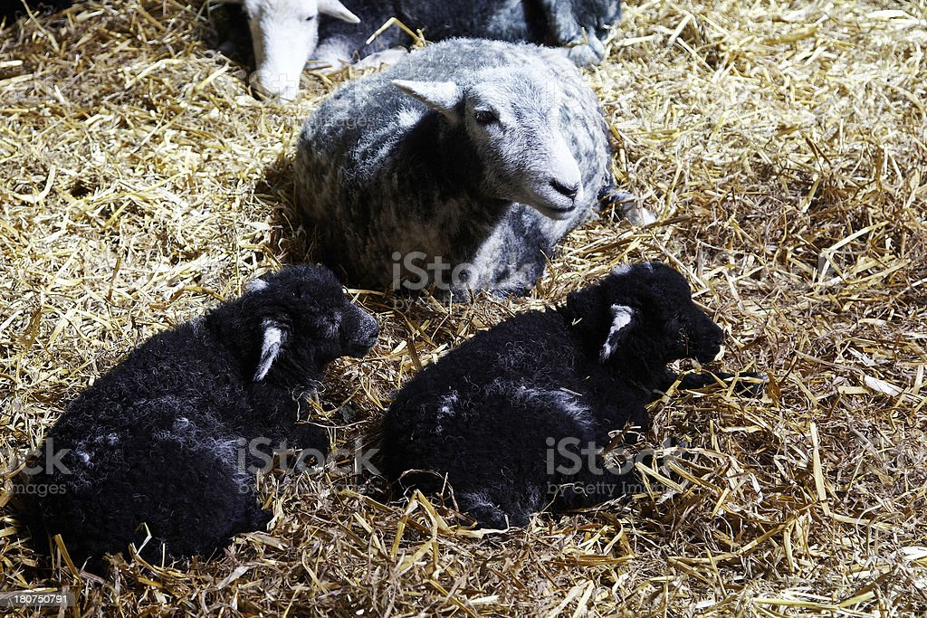 Twin black lambs with mother royalty-free stock photo