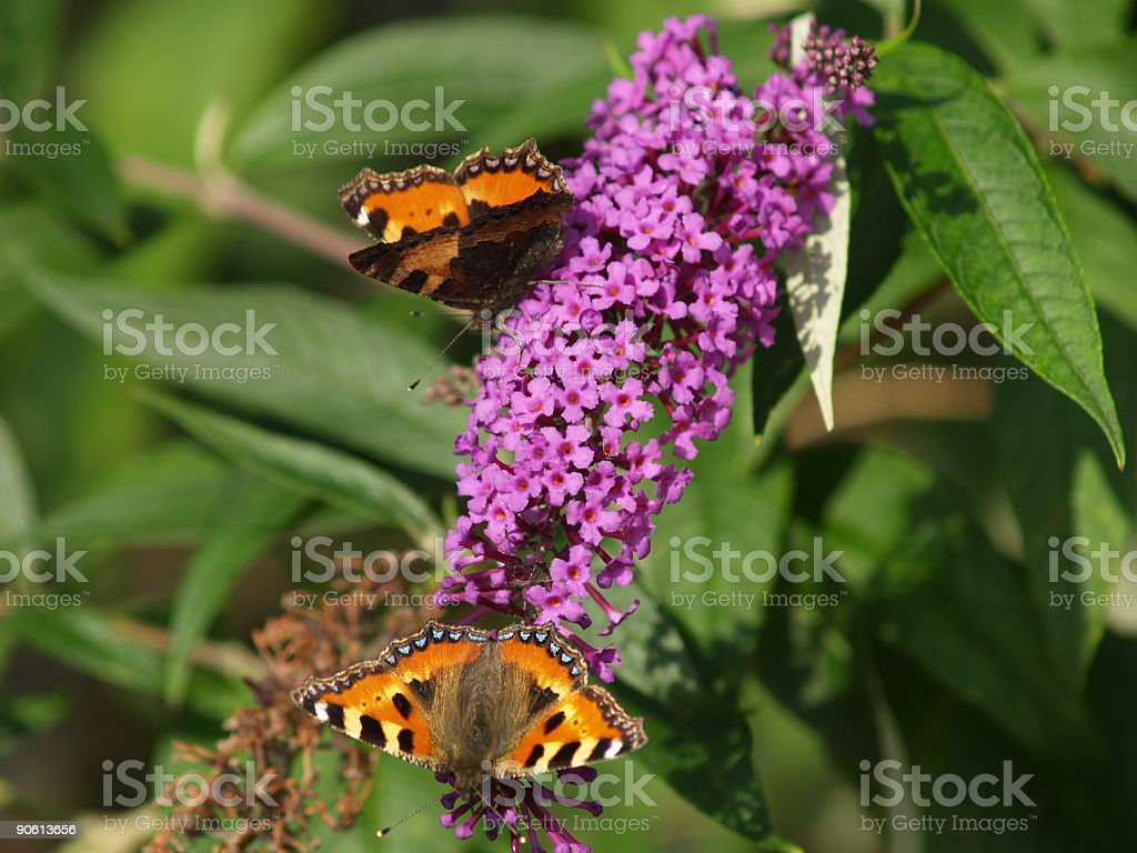 Twin butterflies royalty-free stock photo