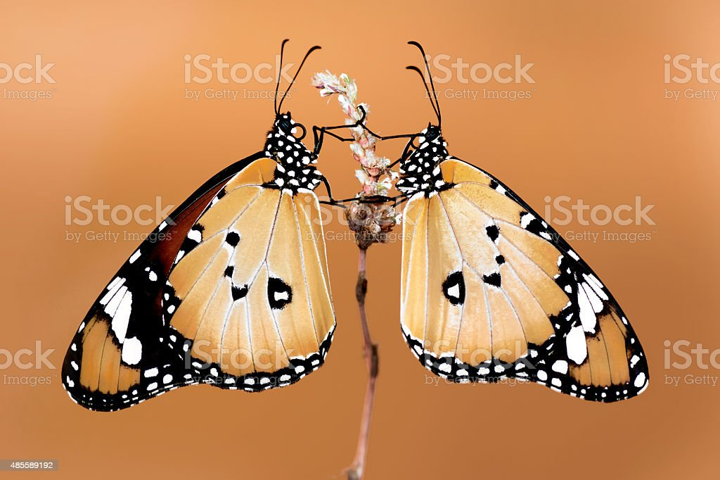 Twin Butterfly stock photo