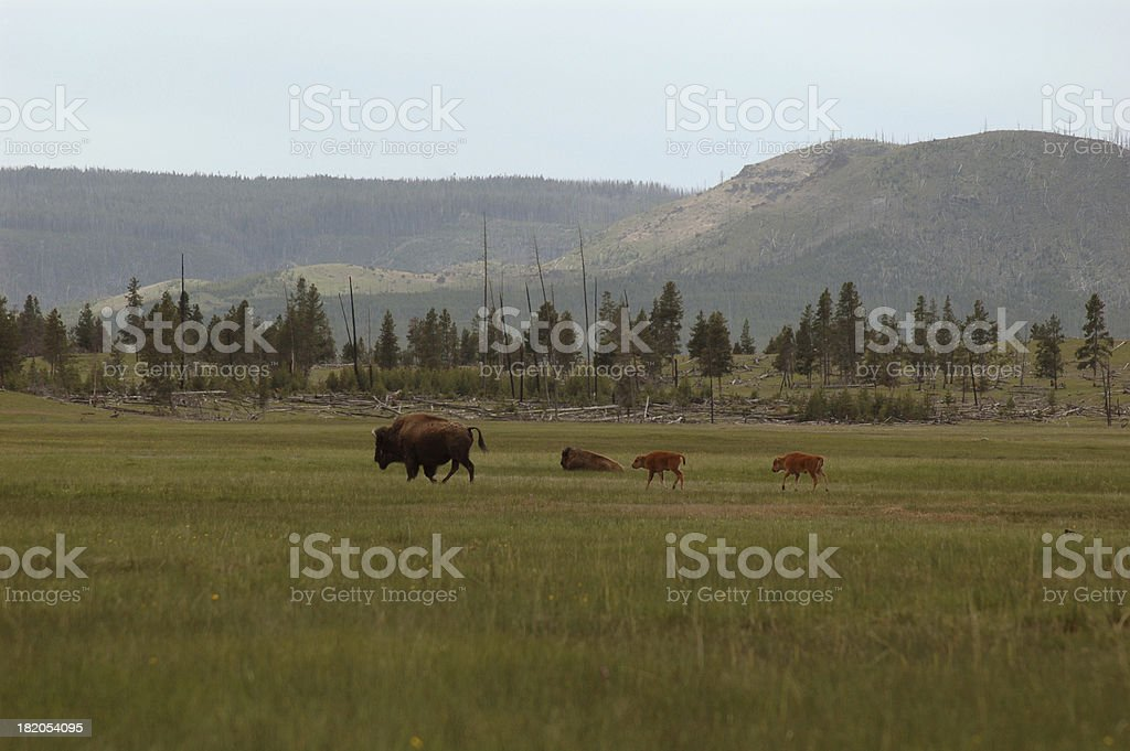 Twin Calfs stock photo