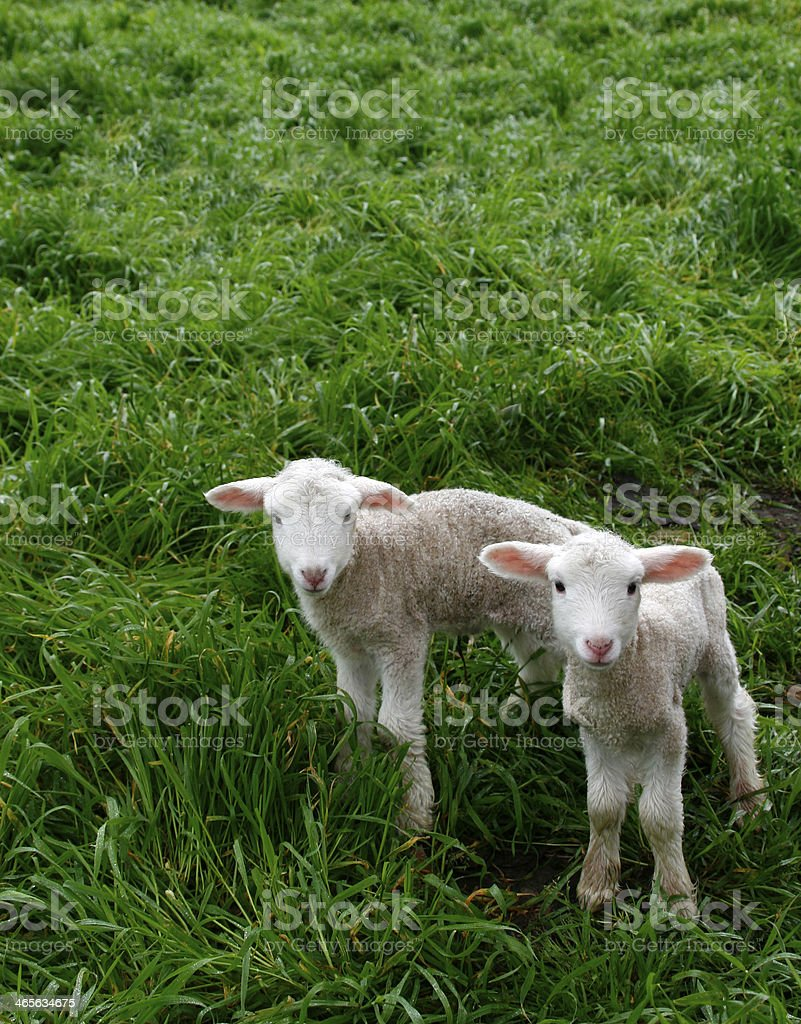 Twin Lambs royalty-free stock photo