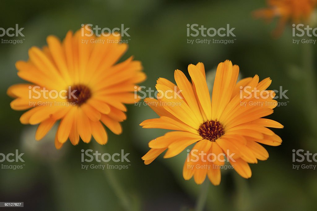 Twin marigolds in a field stock photo